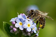 European honey bee.