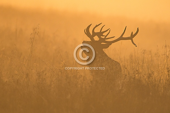 Red Deer Stag at Sunrise