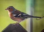 Chaffinch - Male bird - Fringilla coelebs