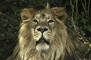 Asiatic Lion Face Shot