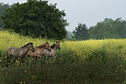 Horses in field of rapeseed