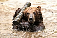 Kamchatka Brown Bear In Water