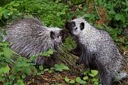 Two Juvenile Porcupines