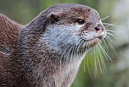 Asian Short-Clawed Otter (Amblonyx cinerea)