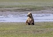 Coastal brown bear sitting in a field