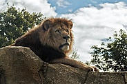 African lion on rock
