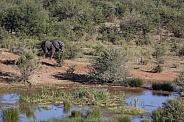 African Elephant near a waterhole in Zimbabwe