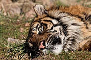 Sumatran Tiger Lying Down Head Back Eyes Open