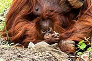 Baby Orangutan looking at camera
