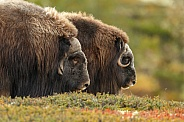 Musk-Ox or Muskox male and female