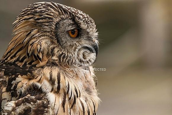 Bengal Eagle Owl Side Profile