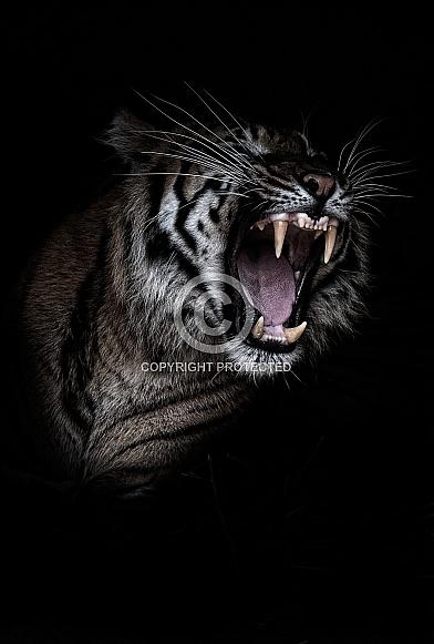 Sumatran Tiger yawning