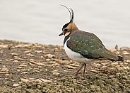 Northern Lapwing / Peewit / Green-backed Plover