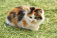 Calico Farm Cat