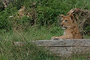 Lion Cub Resting Against Log, Paw On Log