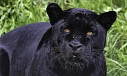 Black Jaguar Close Up