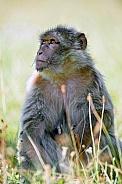 Female Macaque