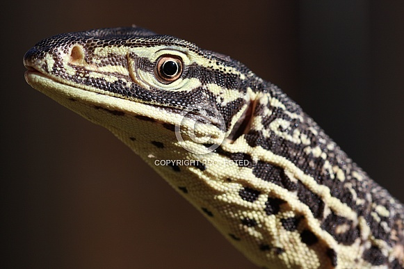 Yellow-Spotted Monitor Lizard