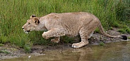 African lioness stalking