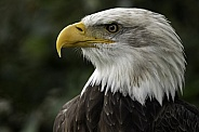 Bald Eagle Close Up Side Profile