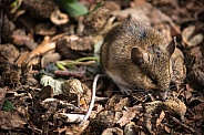 Long Tailed Field Mouse