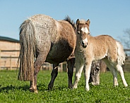 Miniature Horse Foal with Dam