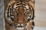 Malayan Tiger Close Up Face Shot