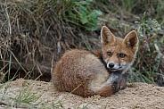 Juvenile Red Fox