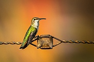 Hummingbird on rusted wire