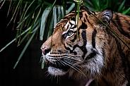 Sumatran TigeT