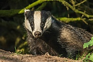 Young European Badger Cub
