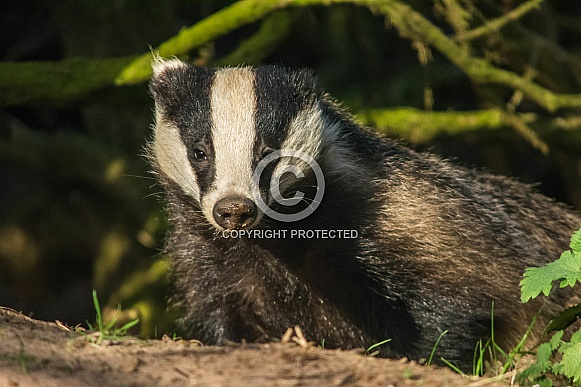 Young European Badger Cub