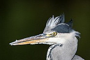 Grey Heron Portrait