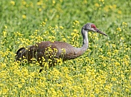 Sandhill Crane Walking through A Field of Flowers