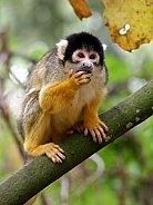Squirrel monkey (Saimiri)