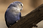 Love Bird Perched On Branch