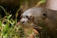 Giant Otter Close Up
