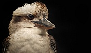 Kookaburra Head Shot Close Up