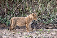 Lion Cub in River Bed