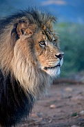 Adult male lion in profile