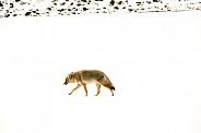 Coyote in winter