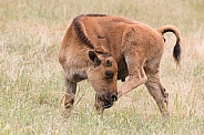 Plains Bison Calf