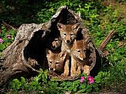 4 Coyote pups