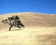 California Oak Tree on a golden field
