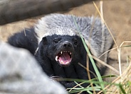 Badger while eating at the zoo