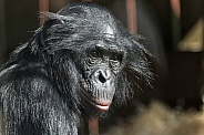 Bonobo Close Up