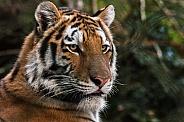 Amur tiger, face shot