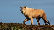 Arctic Wolf running along ridge of a hill