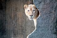 White lioness (Panthera Leo)