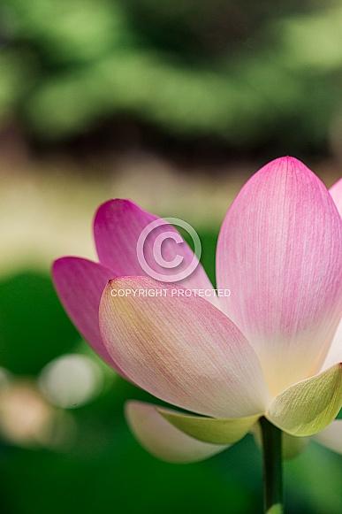 Single Lotus Flower